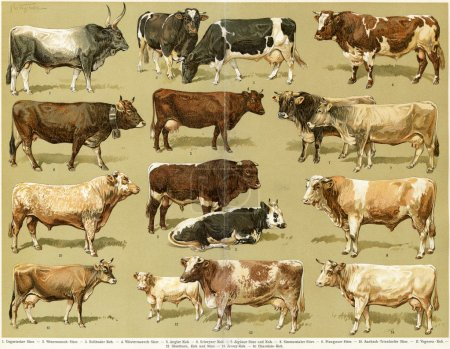 "Different breeds of cows. Publication of the book ""Meyers Konversations-Lexikon"", Volume 7, Leipzig, Germany, 1910"