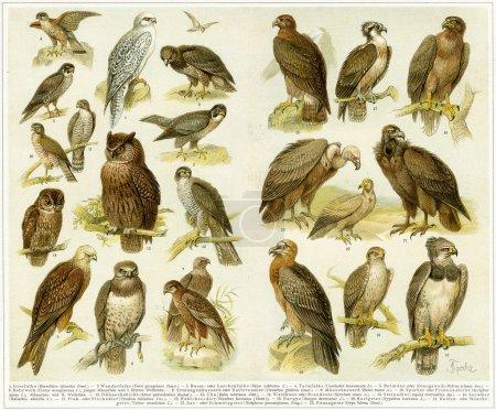 "Various birds of prey. Publication of the book ""Meyers Konversations-Lexikon"", Volume 7, Leipzig, Germany, 1910"