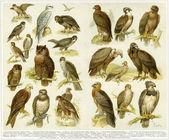 Various birds of prey. Publication of the book Meyers Konversations-Lexikon, Volume 7, Leipzig, Germany, 1910