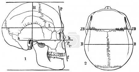 Human skull. Anthropometry