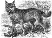 Vyobrazené šedý Vlk (canis lupus). vydání knihy meyers konversations-lexikon, svazek 7, Lipsko, Německo, 1910