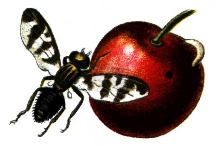 Insect Rhagoletis cerasi (cherry fruit fly).