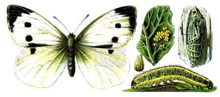 Insect Pieris brassicae.