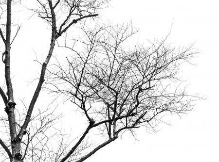 Photo pour Branches d'arbres isolées sur le fond blanc. - image libre de droit