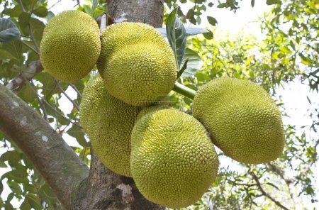 Jack fruit tree in south india.