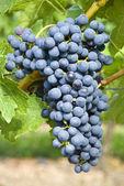 Bunch of Red Wine Grapes (Cabernet Sauvignon)