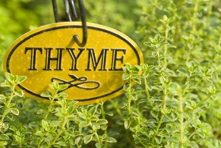 Photo pour Herbe de thym frais dans le jardin - image libre de droit