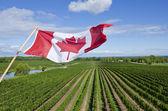 Canadian Flag Flying Over a Vineyard in Niagara Wine Region