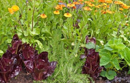 Companion planting, lettuce, Marigols and strawberry plants.