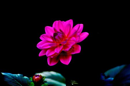 Colorful dahlia flower red with black background