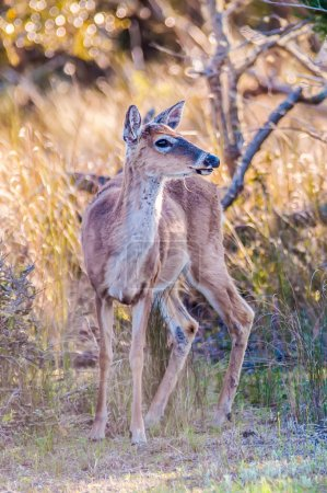 white tail deer bambi in