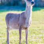 Постер, плакат: white tail deer bambi in the wild