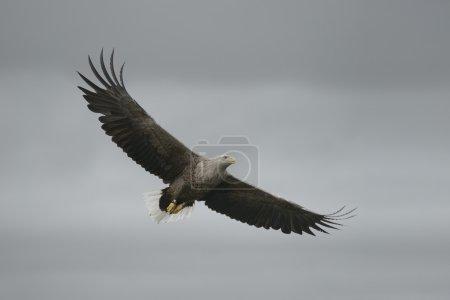 Photo pour Un aigle à queue blanche planant contre un ciel couvert. Cet oiseau a été bagué en 1989 . - image libre de droit