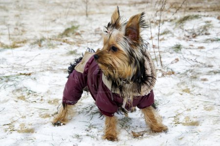 Little yorkshire terrier dog in jacket looking around while walking in the winter