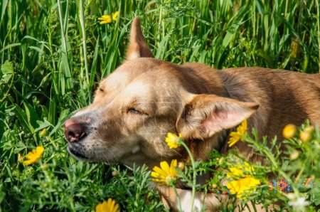 Beautiful brown dog smells a flower