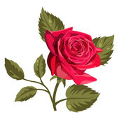 Vector illustration of a red rose isolated on white