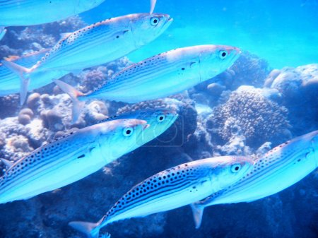 school of sardine in the Red Sea, Egypt