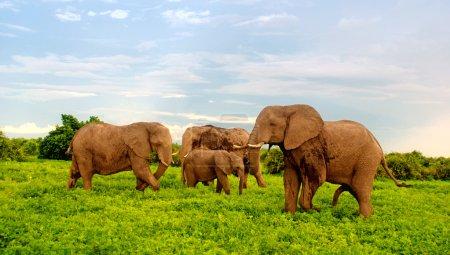 african elephants in bush savannah. Botswana, Africa.