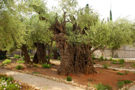 Old olives in Gethsemane garden