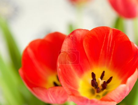 rote Tulpen mit offenen Blütenblättern