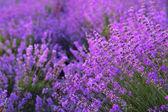 Květiny v polích levandule