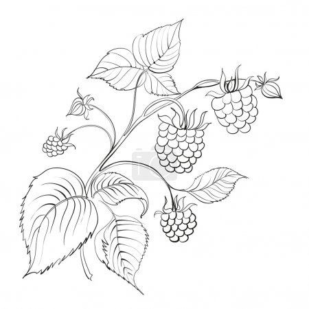 Illustration pour Branche de framboise avec baie mûre isolée sur blanc. Illustration vectorielle . - image libre de droit