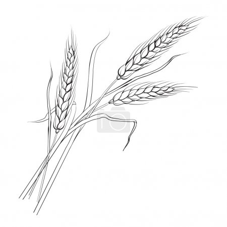 Illustration for Ears of wheat. Iloated over white. Vector illustration. - Royalty Free Image