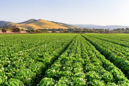 Photo for Lettuce Field in Salinas Valley, California. - Royalty Free Image