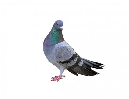 Photo pour Un pigeon gris isolé sur fond blanc - image libre de droit