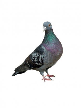 Photo pour Pigeon - image libre de droit