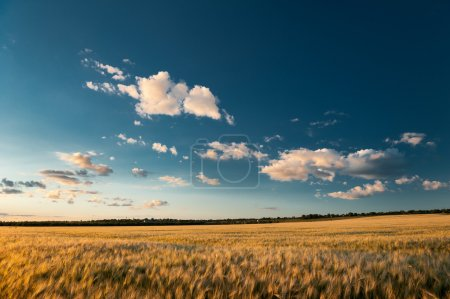 evening wheaten field. summer landscape