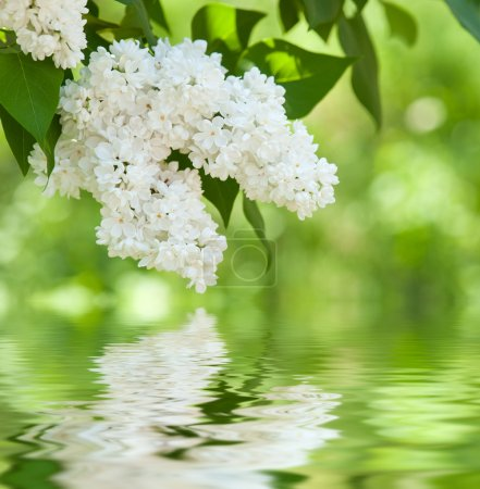 Photo pour White flower lilac reflected in water - image libre de droit