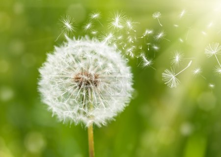 dandelion with flying seeds