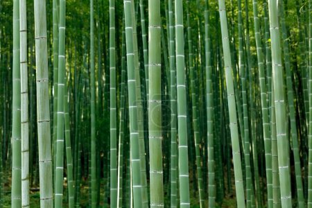 Photo for Arashiyama bamboo forest, Kyoto, Japan - Royalty Free Image