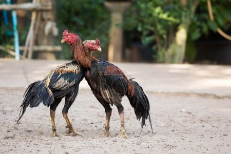 Two cocks or roosters fighting