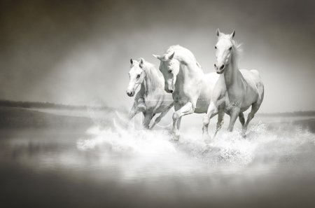 Photoof herd of white horses running through water...