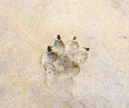 Photo pour Empreinte de chien sur le plancher de ciment - image libre de droit