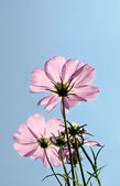Beautiful Cosmos flowers with blue sky background