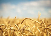 Zlaté pšeničné pole s modrou oblohou v pozadí
