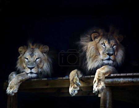 Lion chilling