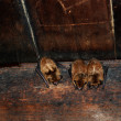 Three sleeping bats on rafters of Tipton place, Sm...