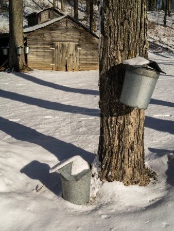 Maple Syrup sap buckets on tree