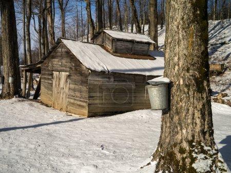 Maple sugar shack during the sugaring season