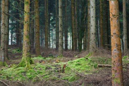 Photo pour Petite clairière dans une forêt dense à feuilles persistantes en Angleterre . - image libre de droit