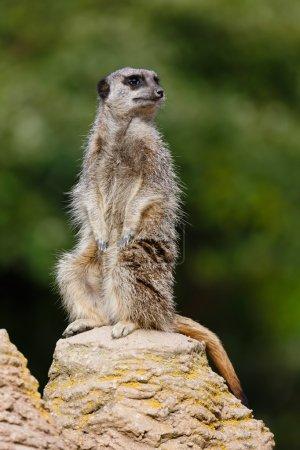 Sentinelle Meerkat