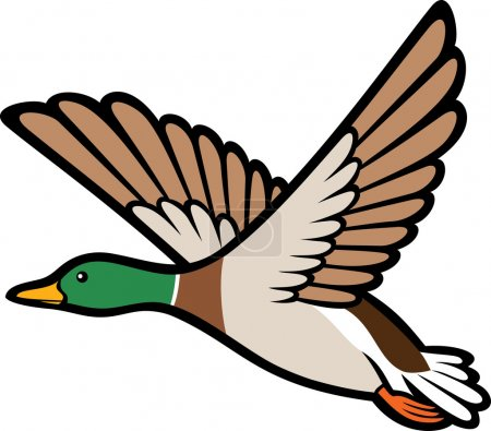 Mallard duck flying...