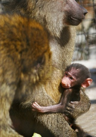Photo for Baboon family with baby - Royalty Free Image