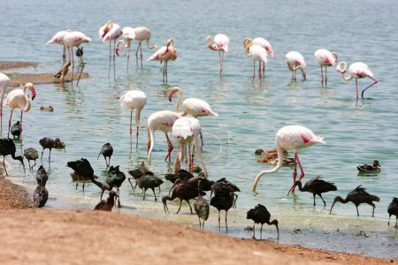Greater Flamingo in water