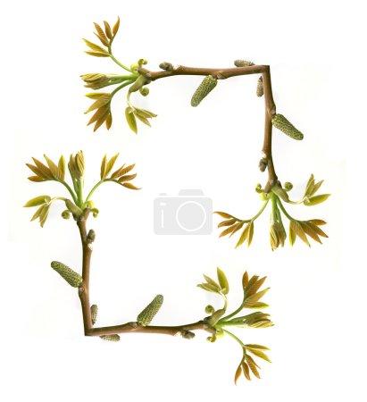 Foto de Marco de la rama de un árbol con hojas nuevas sobre blanco - Imagen libre de derechos