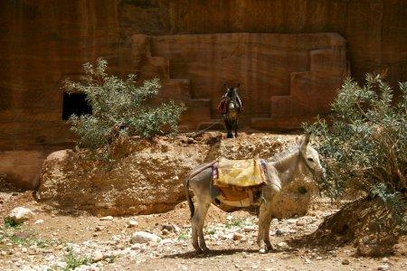 ânes dans le désert
